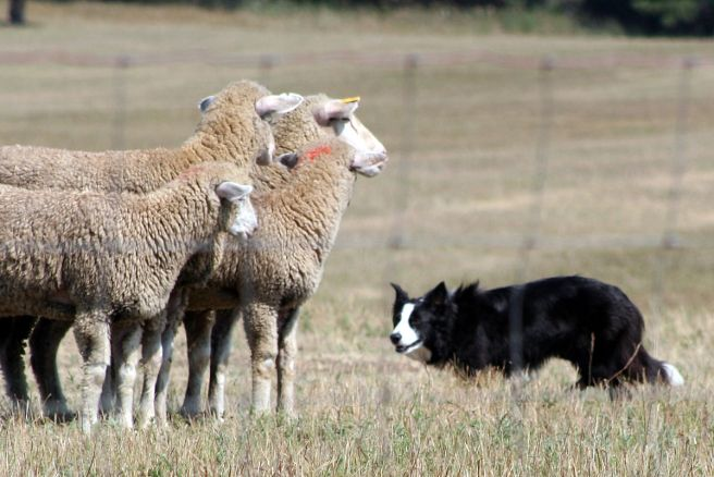 sheep and sheep dog